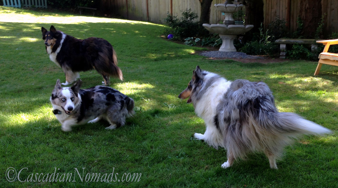 Blue merle cardigan welsh corgi Brychwyn attempts to innitiate a playful chase with blue merle rough collie Ginger.