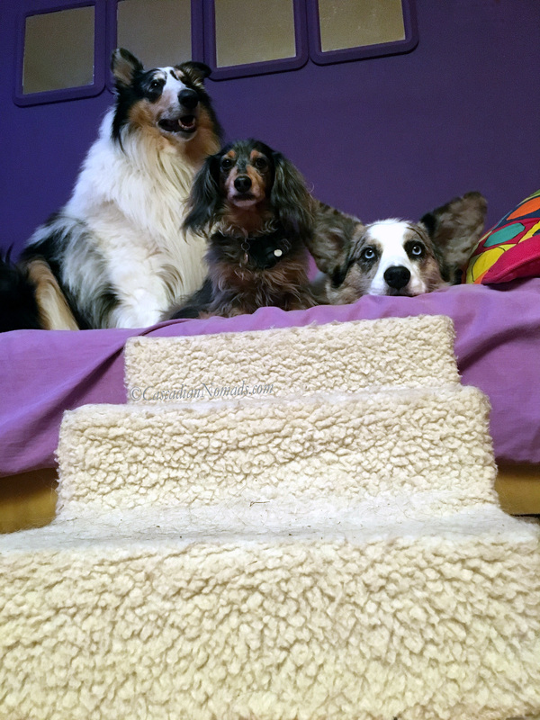 Rough collie Huxley, miniature dachshund Wilhelm and Cardigan Welsh corgi Brychwyn at the top of the pet stairs that lead to the couch.