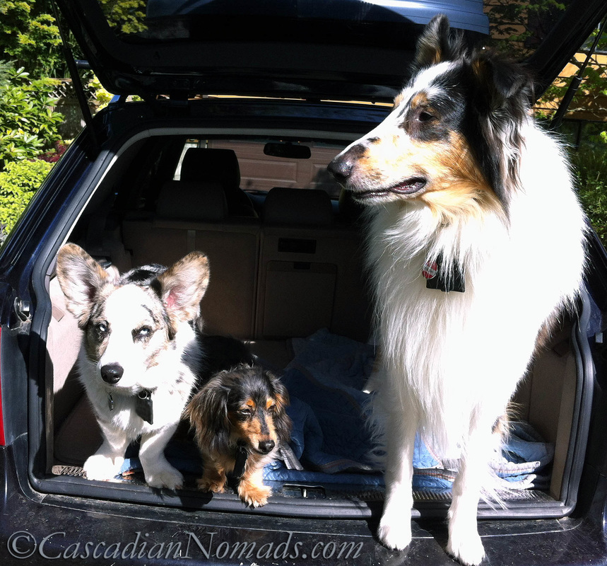 Canine Influenza: It is safe for dogs to travel? Blue merle cardigan welsh corgi dog Brychwyn, dapple dachshund dog Wilhelm and harlequin blue merle rough collie dog Huxley are ready to hit the road.