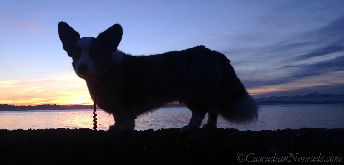 Blue merle cardigan welsh corgi Brychwyn and a late January sunset from Lowmann Beach in West Seattle