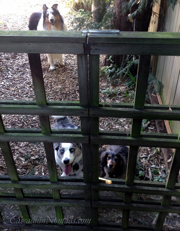 If Pets Had Thumbs Day: Thumbs aren't the only problem a corgi and a dachshund have with opeing the garden gate. When is pets get taller day?