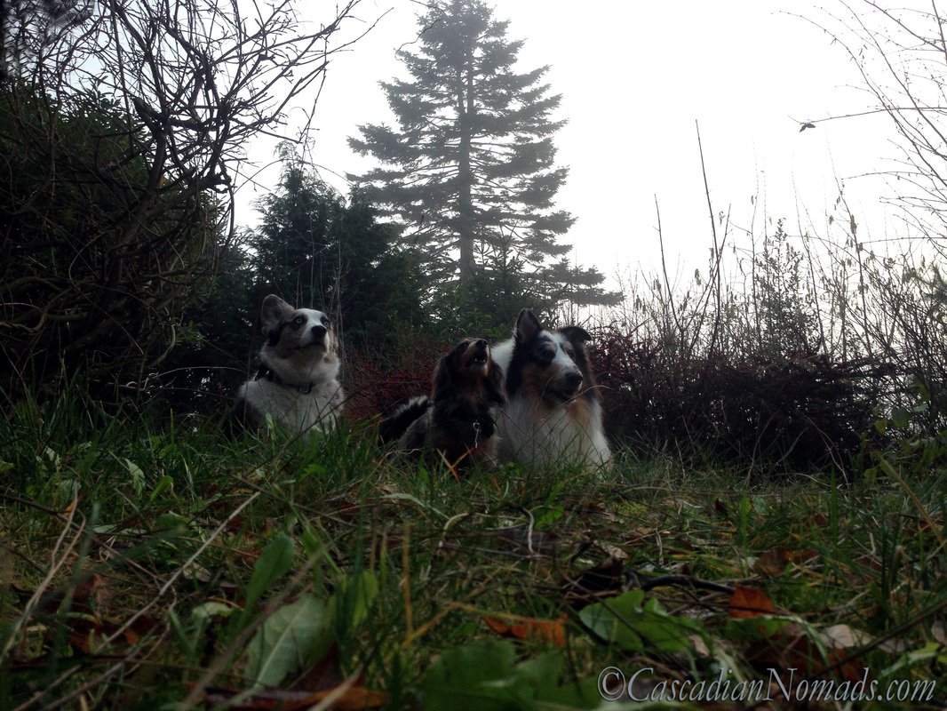 Blue merle cardigan corgi, miniature long haired dachshund and rough collie dog lay low in the Seattle fog
