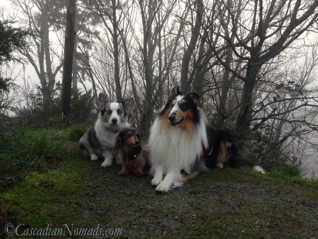 Blue merle cardigan corgi, miniature long haired dachshund and rough collie dog in the Seattle fog