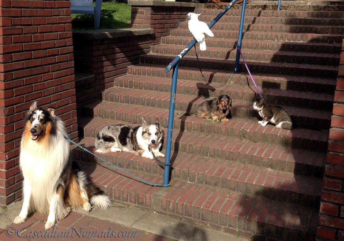 Five Pets on the Steps: Harlequin blue merle collie Huxley, cardigan welsh corgi Brychwyn, miniature long haired dachshund Wilhelm, tabby cat Amelia and Triton cockatoo Leo