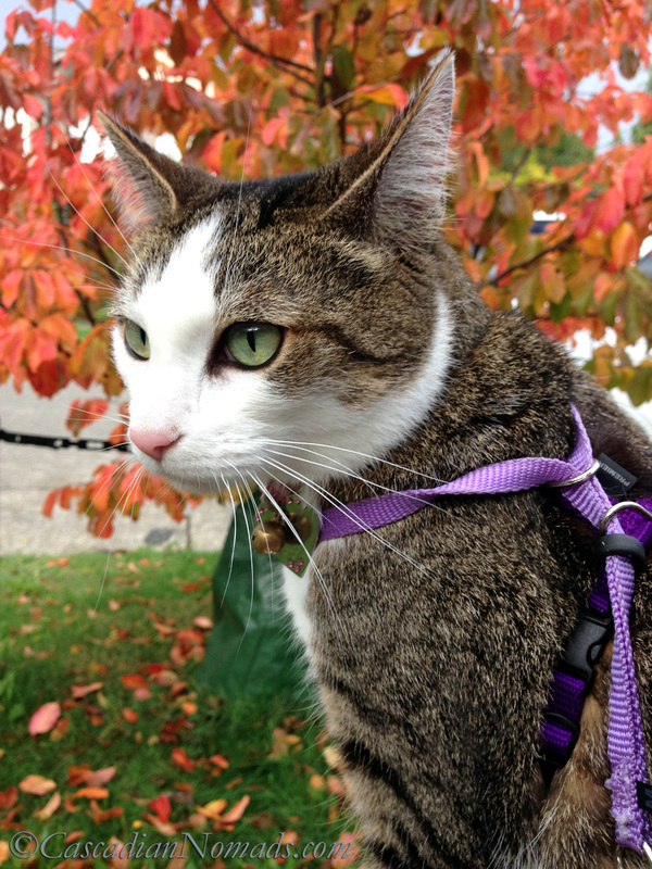 Cat Amelia on an autumn outing amongst gorgeous fall leaves