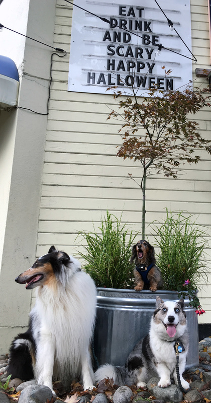 In a scary Seattle sign photo, Rough collie Huxley and Cardigan Welsh corgi Brychwyn sit while miniature dachshund Wilhelm screams.