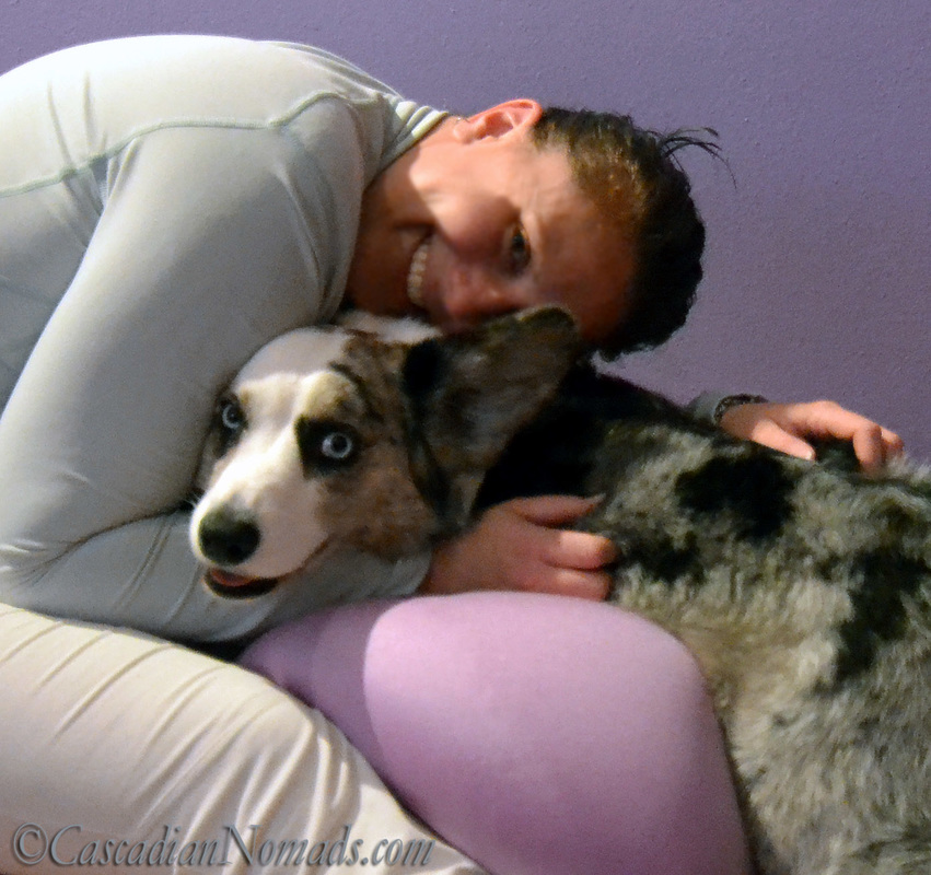 A hug for happy blue merle cardigan welsh corgi Brychwyn.