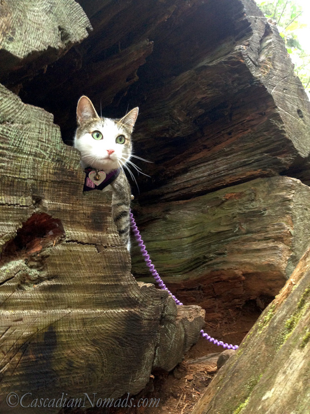 Traveling adventure cat Amelia looks out from inside a hollow log on a recent camping trip