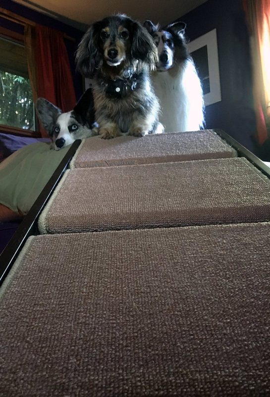 Cardigan Welsh corgi Brychwyn, miniature dachshund Wilhelm and rough collie Huxley at the top of the pet ramp that leads to the bed.