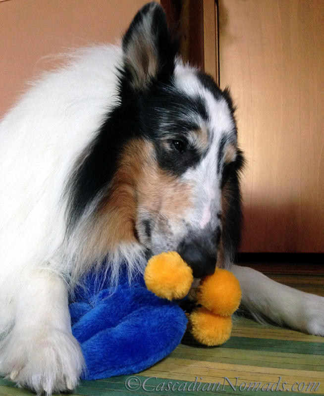 Harlequin blue merle rough collie Huxley sniffing a toy