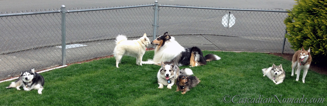 Seven dogs- four Alaskan Klee Kai's, a rough collie, a cardigan welsh corgi and a miniature dachshund.