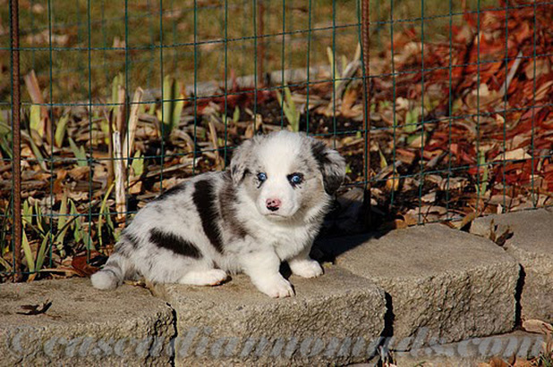 Blue merle cardigan welsh corgi puppy Brychwyn