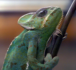 A Chameleon, any reptile or pet should never be an impulse purchase #ReptileCare