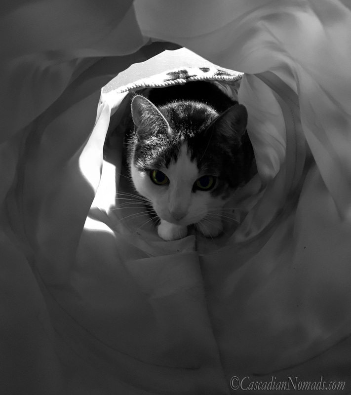Color splash black and white photo of gree eyed adventure cat Amelia exploring her play tunnel. #DogwoodWeek9 #Dogwood52