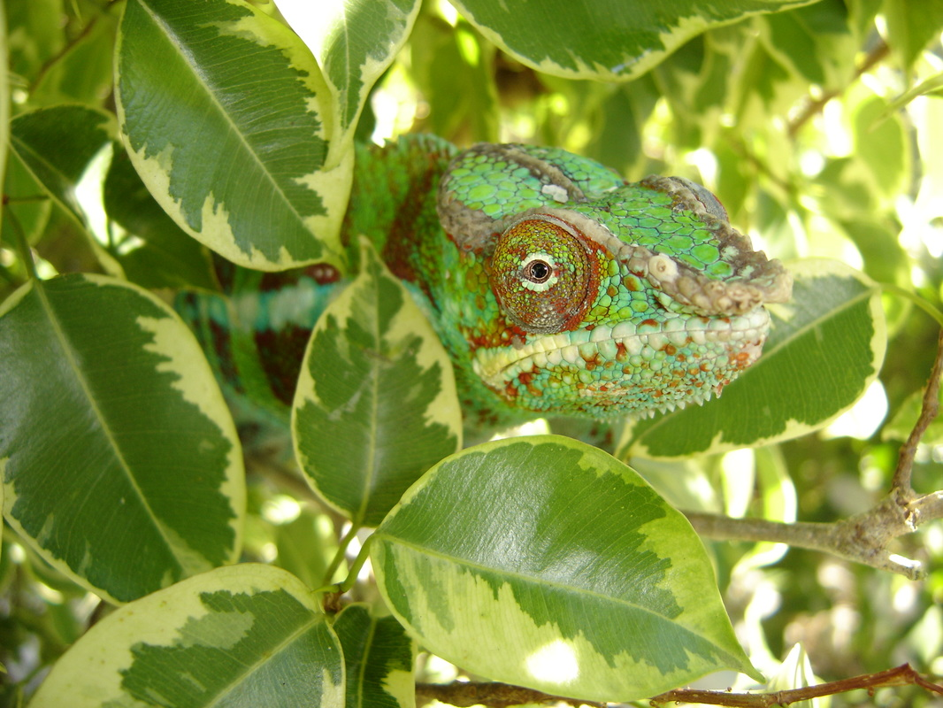 Who wouldn't love this face? But chameleons take an experienced reptile owner to properly care for them! #ReptileCare