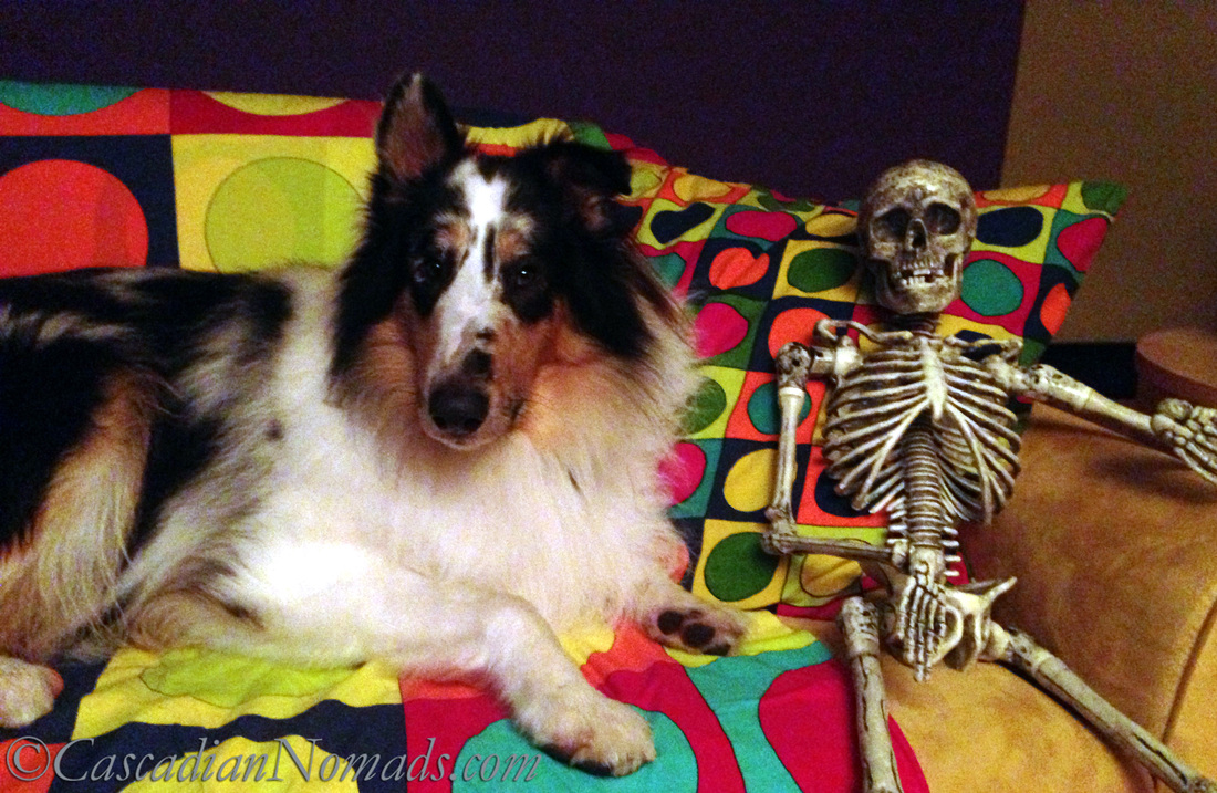 Rough collie dog Huxley shares his couch with a Halloween skeleton