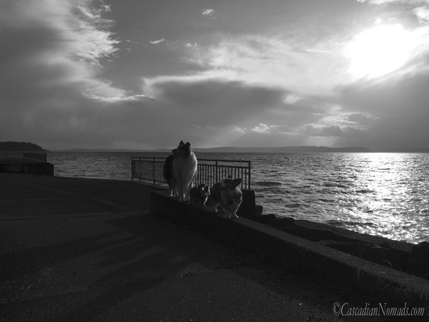 Three dogs and a Puget Sound storm: rough collie, miniature dachshund and Cardigan Welsh corgi dog storm watchers at Emma Schmitz Memorial Overlook, West Seattle, Washington, Cascadia. #DogwoodWeek4 #Dogwood52