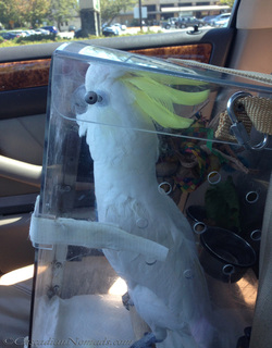 Triton cockatoo rides in his acrylic travel carrier.