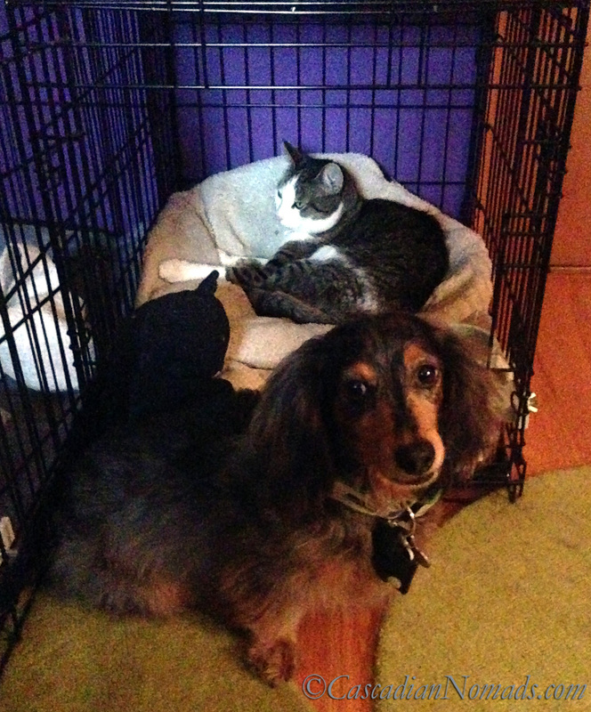 Poor miniature dachshund Wilhelm wonders when cat Amelia will let him back in his crate.