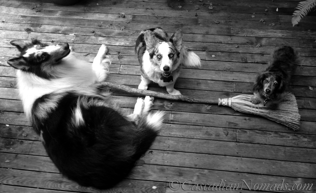 Is This Thing On? Three dogs try their paws at flying on a witches broom: Black and White Photography of Dogs.