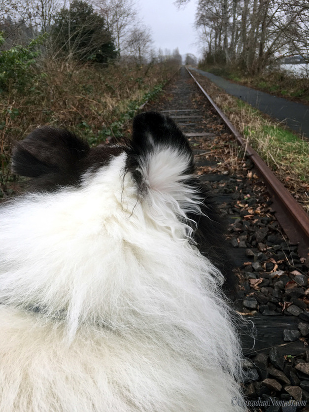 Dog portrait of harlequin blue merle rough collie Huxley gazing down the railroad tracks on the river walk in Astoria, Oregon, Cascadia. #DogwoodWeek7 #Dogwood52