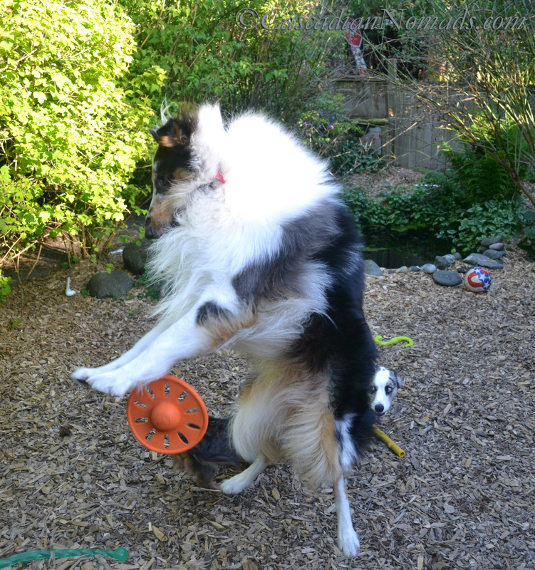 Rough collie, Huxley, leaps for his toy in his yard as only a healthy and happy dog can! #GetHealthyHappy