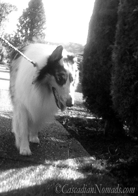 Black & White #DogWalkingWeek rough collie photo