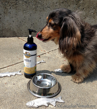 Black and tan dapple long haired miniature dachshund Wilhelm and his new favorite treat, Bonnie and Clyde Premium Pet Goods Wild Omega-3 Fish Oil Supplement for Dogs with Natural Vitamin E
