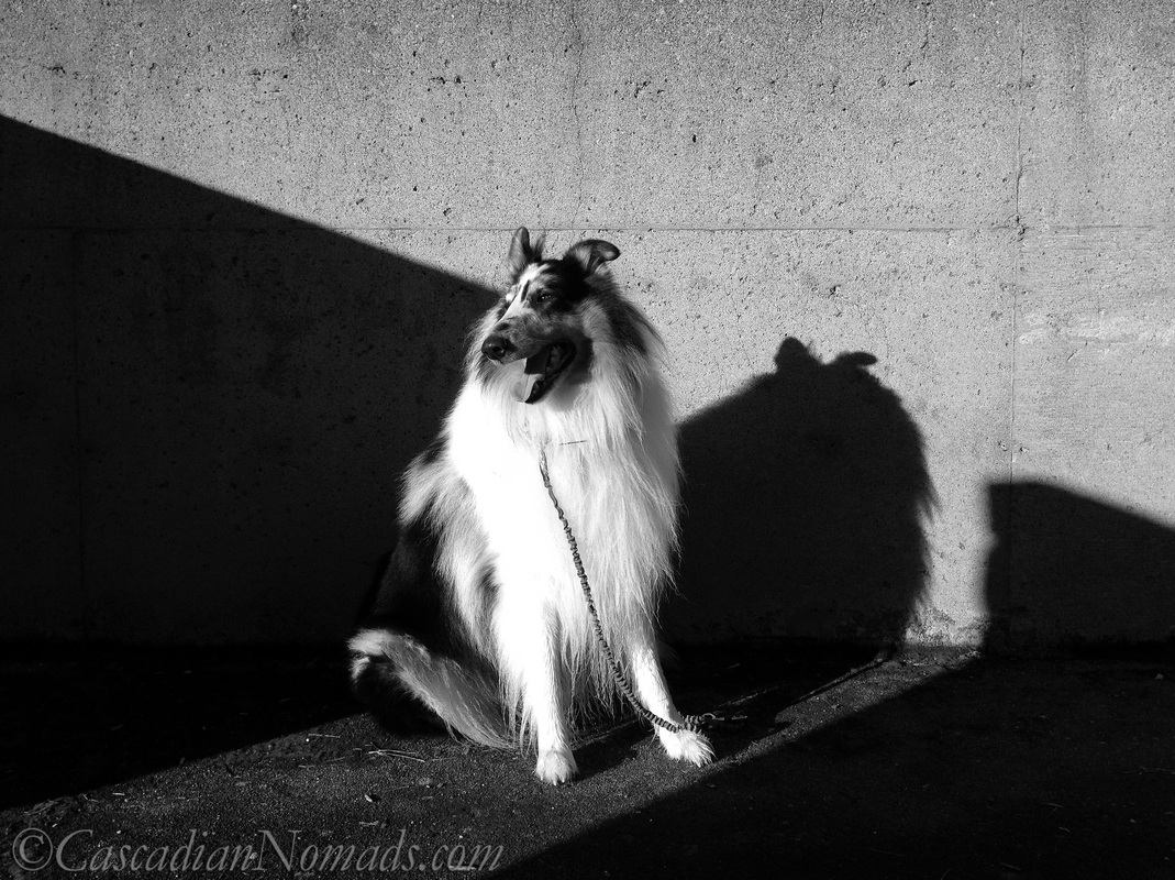 Black and white photo of rough collie dog Huxley in sun and shadow looking to the West