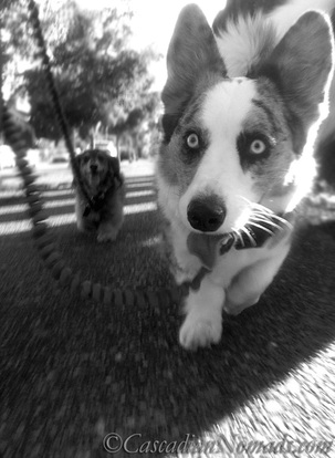 Black and whote photo of a dachshund and a corgi walking on a shadow striped sidewalk.