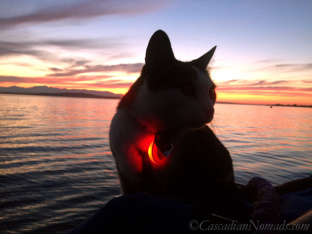Adventure cat Amelia out for a red Puget Sound summer sunset stroll wearing a red safety light.