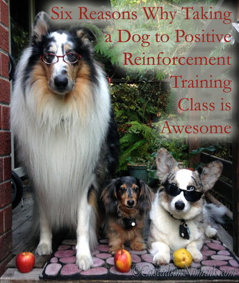 Six Reasons Why Taking A Dog To Positive Reinforcement Training Class Is Awesome: smart dogs rough collie Huxley, miniature dachshund Wilhelm and Cardigan Welsh corgi Brychwyn are ready for school.