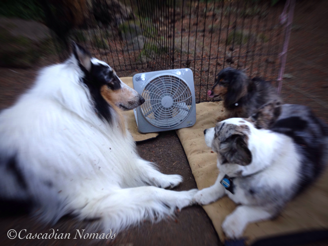 Three camping dogs, rough collie Huxley, Cardigan Welsh corgi Brychwyn and miniature dachshund Wilhelm, cooling off in front of a battery powered fan.