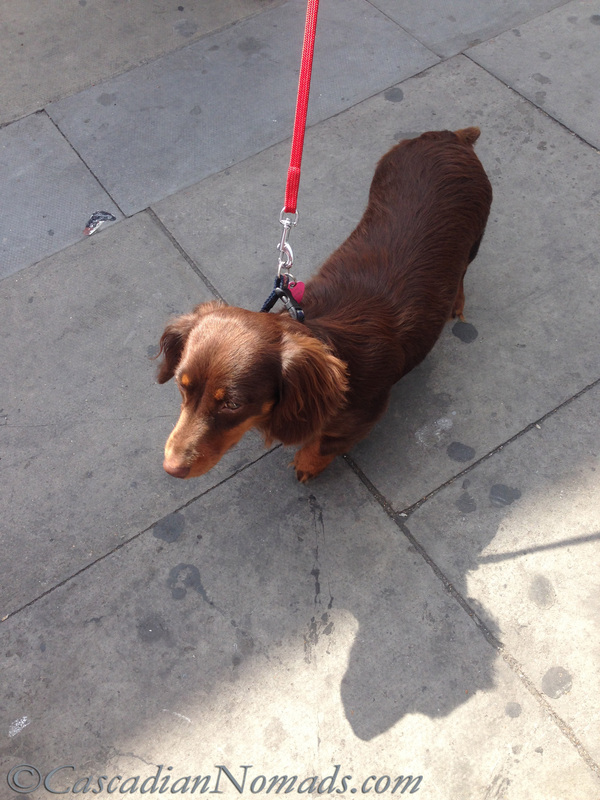 Chocolate long haired dachshund at the bus stop in London.