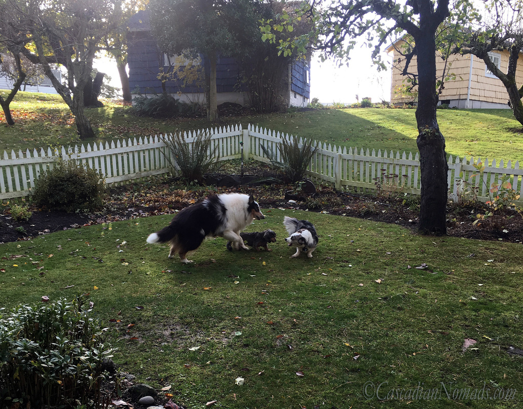 Rough collie Huxley leaps in to play with Cadrigan Welsh corgi Brychwyn and miniature dachshund Wilhelm.
