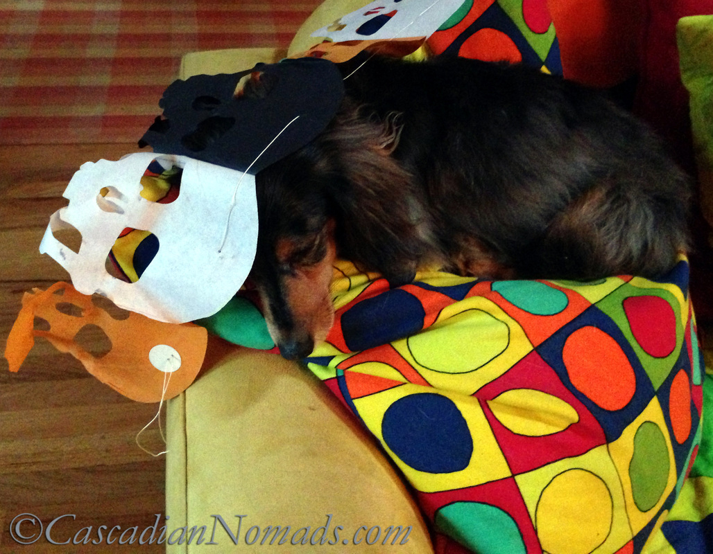 Miniature long haired dachshund dog Wilhelm naps under a Halloween skull banner