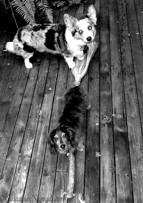 Cardigan Welsh corgi Brychwyn and miniature dachshund Wilhelmtry their paws at flying on a witches broom: BBlack and White Photography of Dogs.