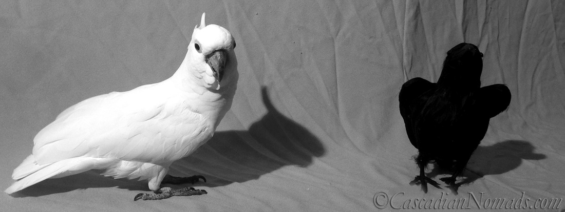 Black & White Sunday photos of cockatoo Leo and his new
