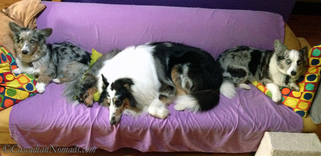 Four dogs find comfort on a couch: Blue Merle Cardigan Welsh Corgi's Morgan & Brychwyn bookend miniature dachshund Wilhelm and rough collie Huxley.