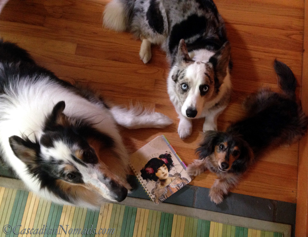 Positive Reinforcement Training For Five Pets In Six Steps | #MultiPetMania: Rough collie dog Huxley, cardigan welsh corgi dog Brychwyn and miniature dachshund dog Wilhelm pose with the pets new training journal