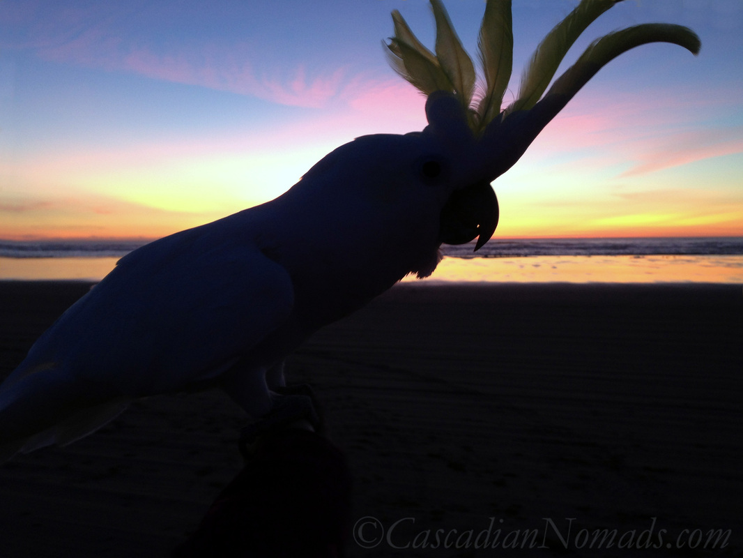 Cascadian Nomads psittacine silouetted against the sunset, Long Beach, Washington: traveling Triton cockatoo Leo