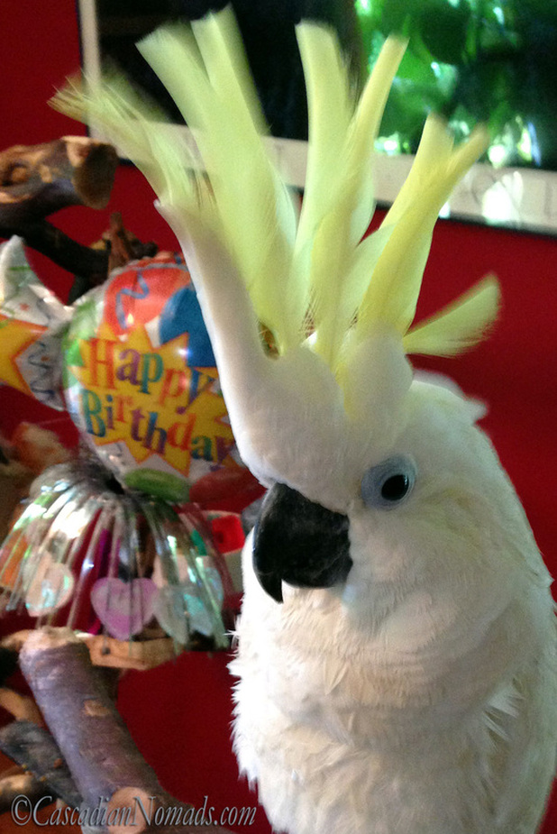 Triton Cockatoo Leo with a Happy Birthday Balloon.