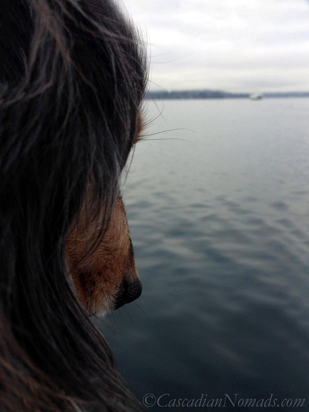 Miniature dachshund Wilhelm watching a ferry on Puget Sound on gray winter day
