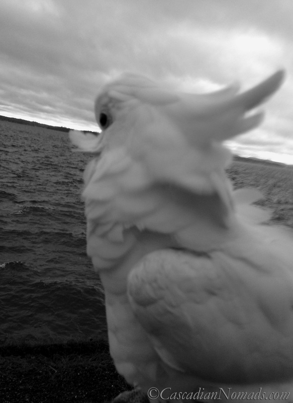 A gorgeous black and white photograph of a cockatoo viewing a Puget Sound sunset