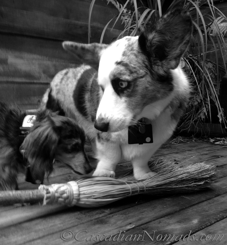 Cardigan Welsh corgi Brychwyn and miniature dachshund Wilhelmtry their paws at flying on a witches broom: Black and White Photography of Dogs..