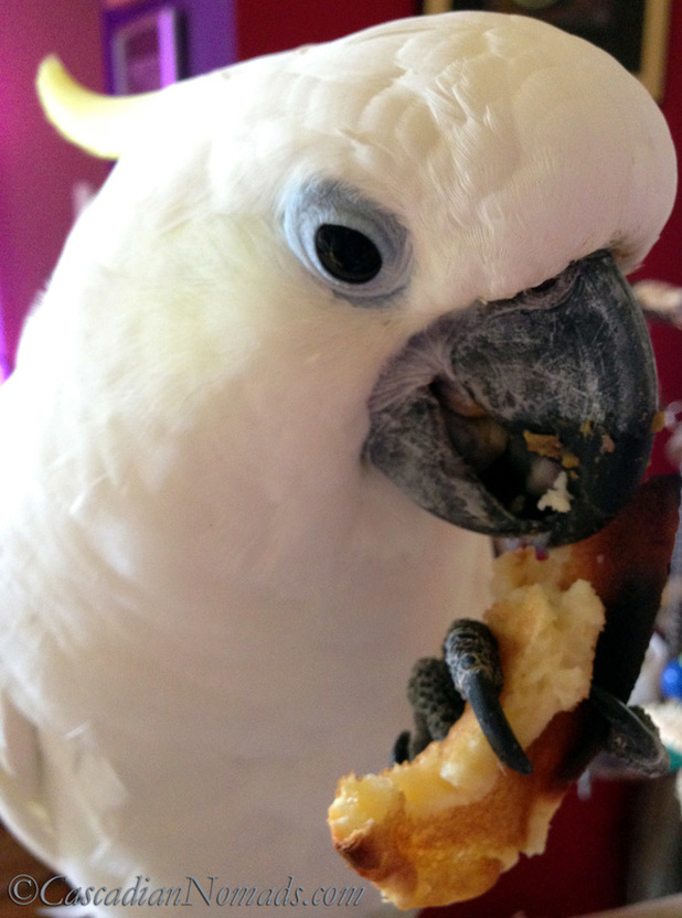Who Are The Best Travel Buddies? Ask The World's Worst Roommates... Five Pets: Trtion cockatoo Leo enjoys a pancake breakfast
