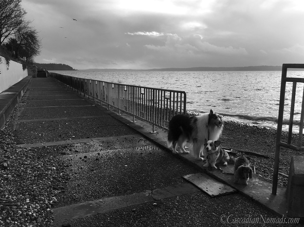 Three dogs and a Puget Sound storm: rough collie, Cardigan Welsh corgi, and miniature dachshund dog storm watchers at Emma Schmitz Memorial Overlook, West Seattle, Washington, Cascadia. #DogwoodWeek4 #Dogwood52