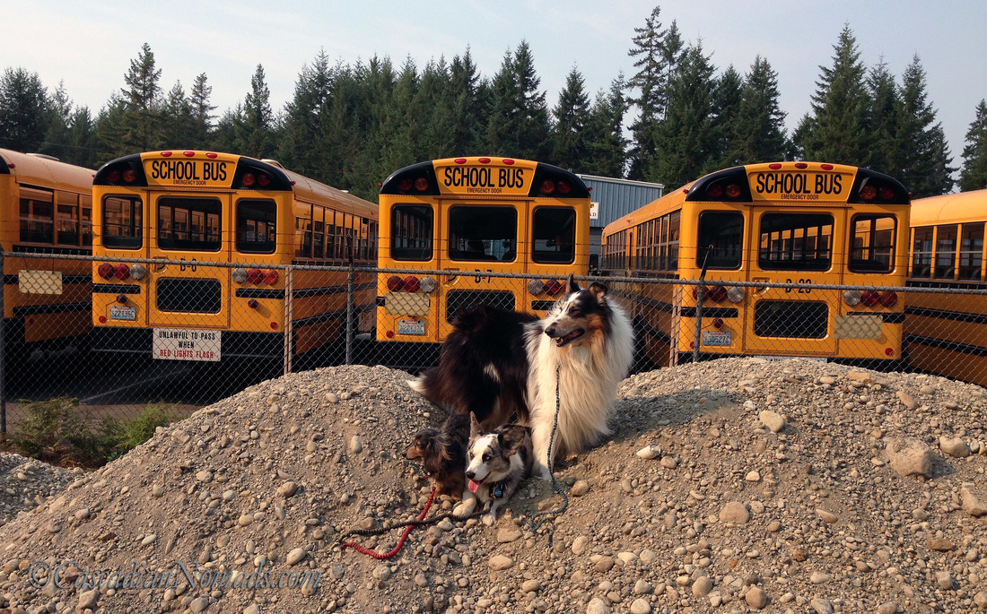 Dogs with school buses: miniature dachshund Wilhelm, Cardigan Welsh corgi Brychwyn and rough collie Huxley take a road trip break to pose for a school photo