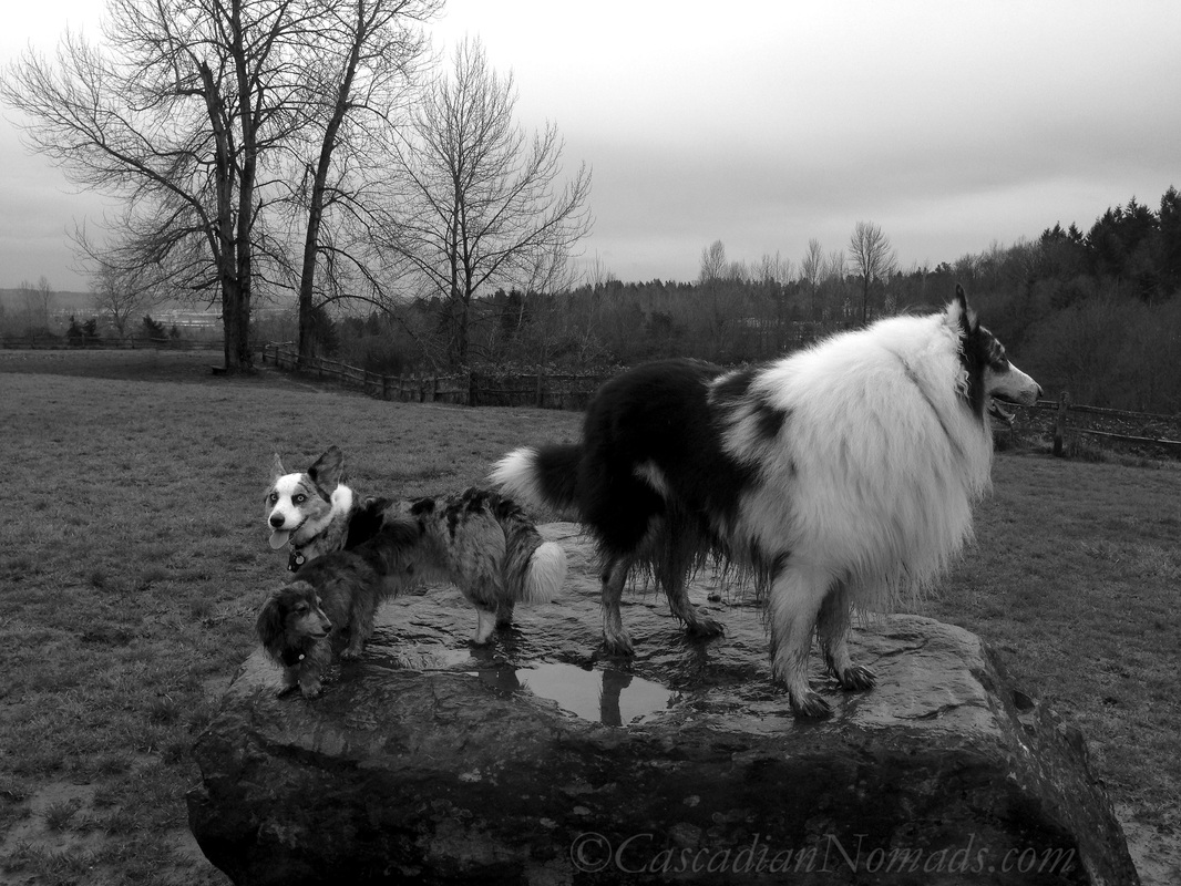 Wet and muddy dachshund, corgi and collie dogs on a rock at Grandview Off Leash Dog Park, SeaTac, Washington, Cascadia