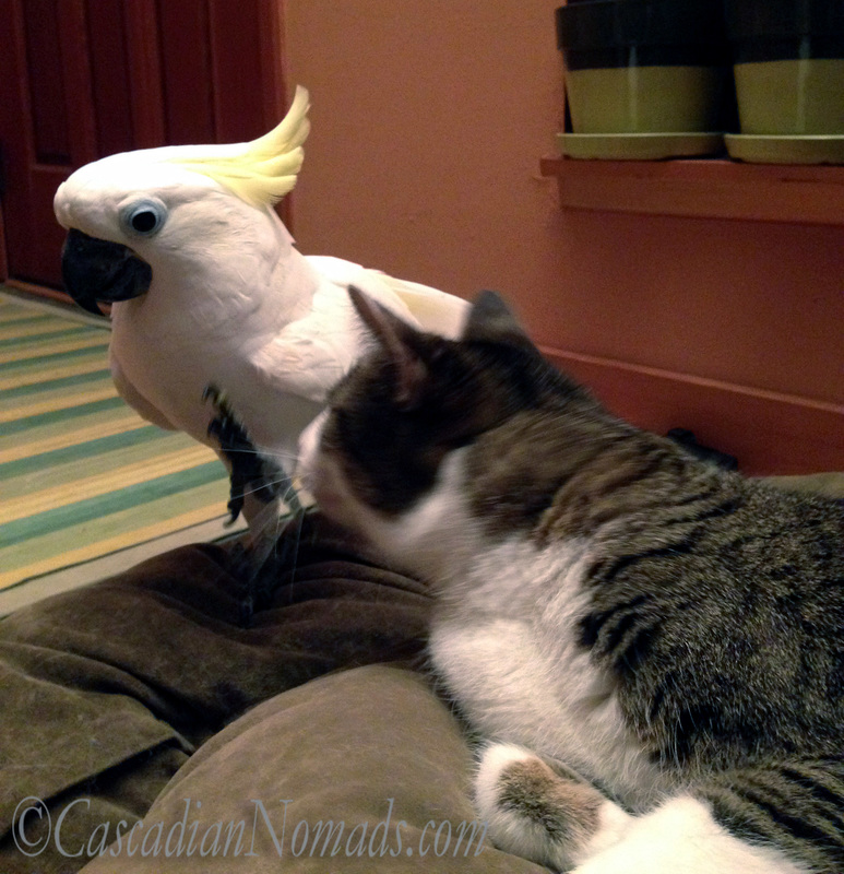The selfie photobombing Triton cockatoo offers to help the Abyssinian tabby cat scratch.
